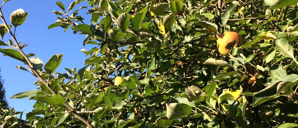 Nahaufnahme eines alten Apfelbaums